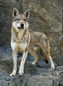 Cão wolfdog checoslovaco