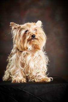 Cão yorkshire terrier canela