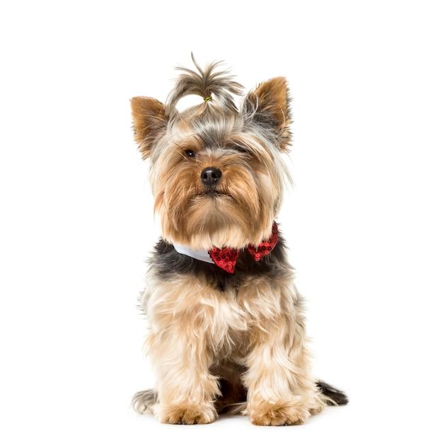 Cão yorkshire terrier sentado usando uma gravata borboleta isolada no branco