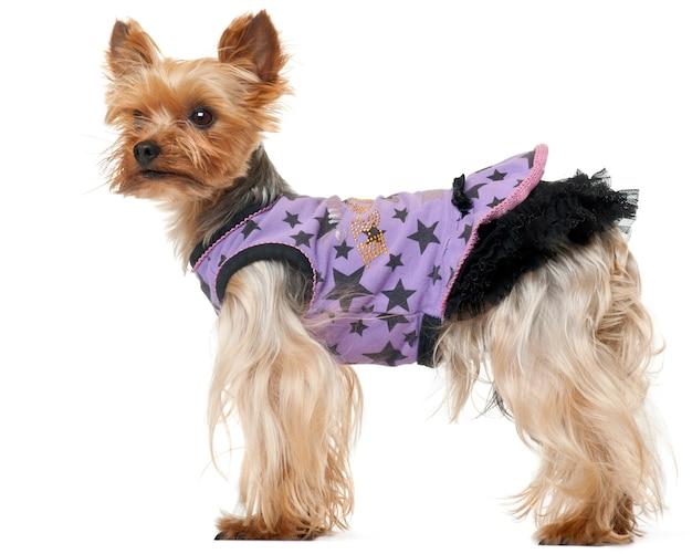 Cão yorkshire terrier