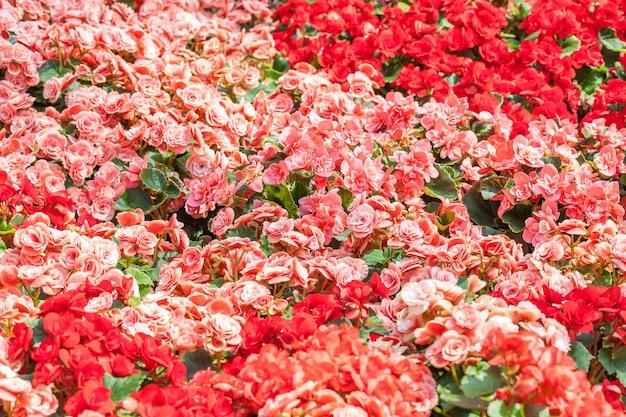 Capa de flores de rosas vermelhas e cor de rosa.