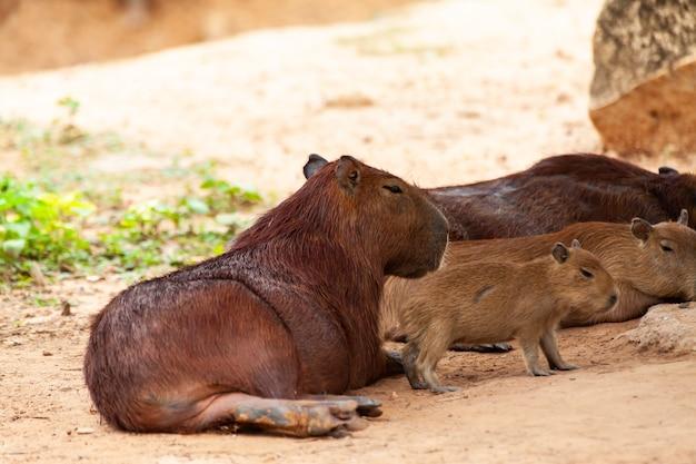 Capivara, hydrochoerus hydrochaeris, o maior roedor dentado.