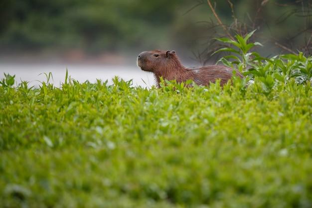 Capivara no habitat natural do pantanal norte