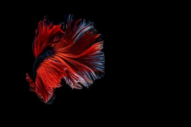 Capture o momento em movimento bela cauda de peixe betta siamês na tailândia