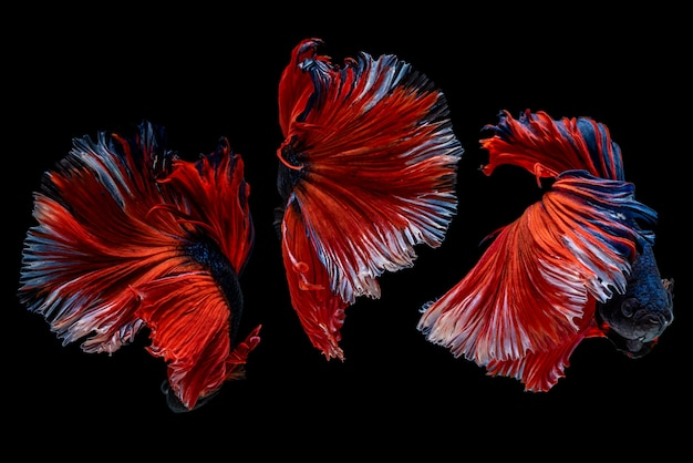 Capture o momento em movimento bela cauda multicolor de peixe betta siamês na tailândia
