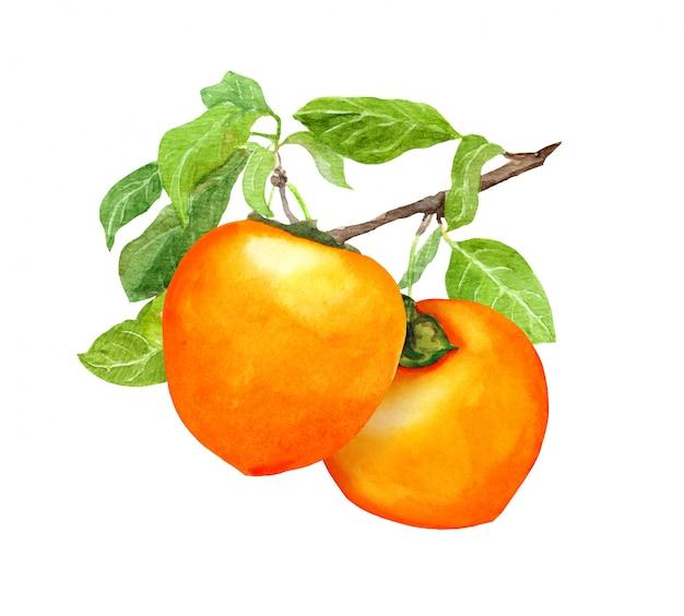 Caqui frutas no ramo e folhas aquarela ilustração botânica