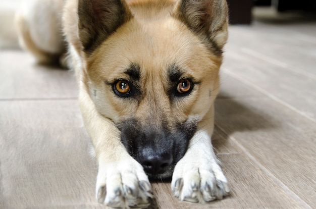 Cara adorável do cão entre suas patas. shepard, deitando, e, implorando, chão, cima, cabeça