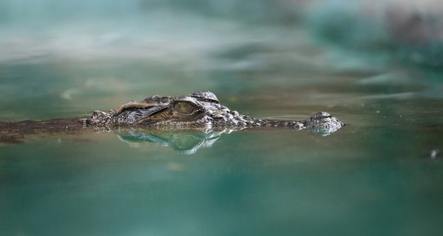 Cara de crocodilo e reflexo na água