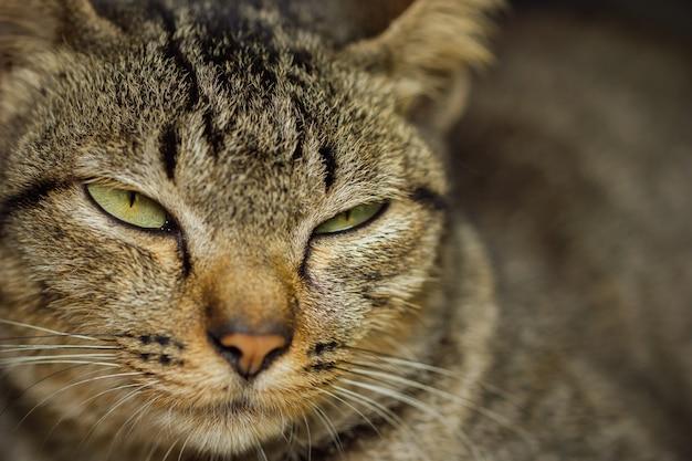 Cara de gato cinza está com sono.