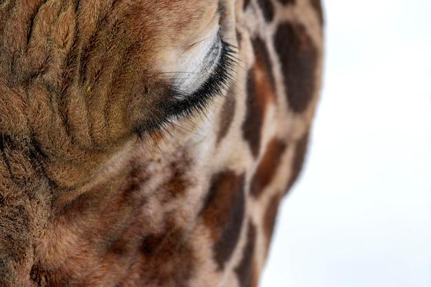 Cara de girafa bonita em fundo de neve