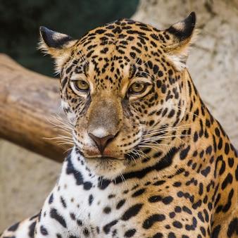 Cara de leopardo de perto
