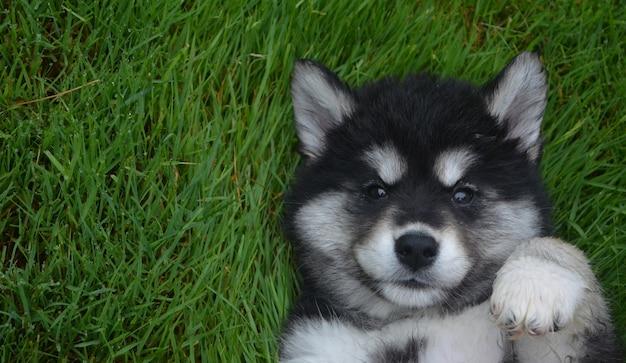 Cara doce preciosa de um filhote de cachorro aluasky de costas na grama.