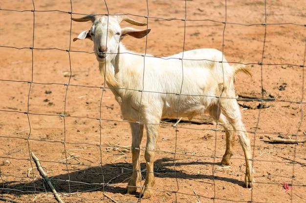 Cara engraçada de cabra, sentado na grama seca na fazenda