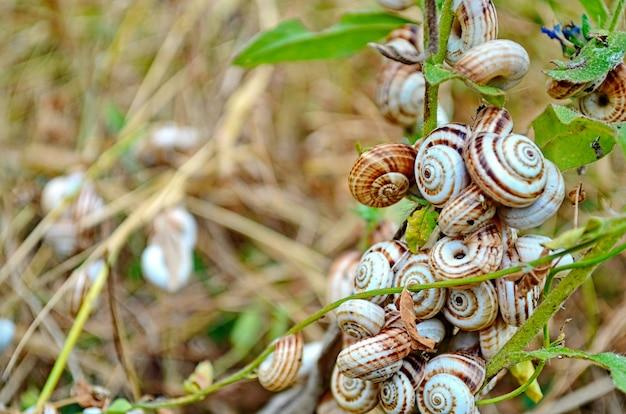 Caracóis da crimeia brancos na grama
