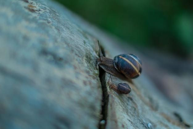 Caracóis na natureza. caracóis no tronco. os caracóis se equilibram na borda do toco velho. os caracóis rastejam ao longo da árvore velha.