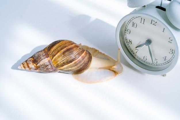 Caracol achatina branco com concha escura rastejando perto do despertador branco na superfície branca