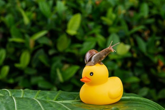 Caracol achatina com uma concha marrom sentado no topo de um pequeno pato de borracha amarelo em pé em uma grande folha verde posa entre folhagem verde molhada