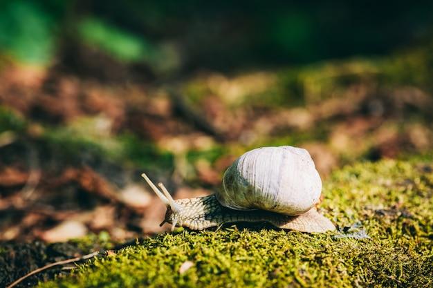 Caracol com casca branca rastejando sobre o musgo da floresta.