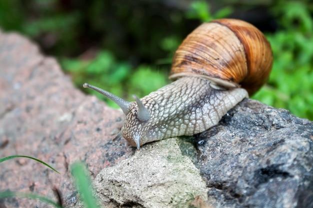 Caracol da borgonha (helix pomatia) ou escargot em ambiente natural. fechar-se