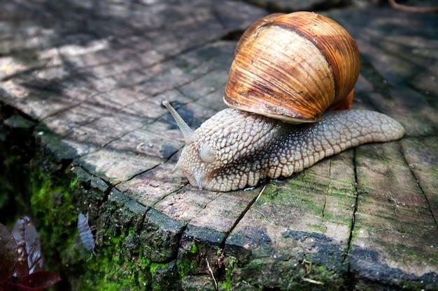 Caracol da borgonha (helix pomatia) ou escargot em ambiente natural
