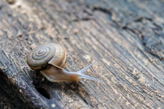 Caracol de closeup em fundo madeira