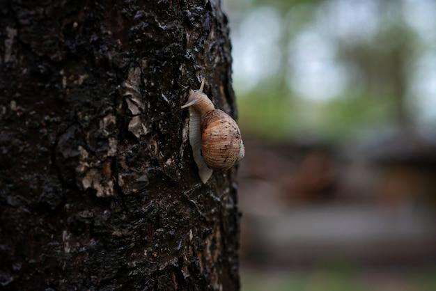 Caracol de jardim na casca de árvore na chuva. helix pomatia, nomes comuns de caracol romano, caracol da borgonha, caracol comestível ou escargot. foco seletivo suave.