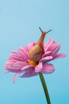 Caracol de uva de jardim em uma flor de crisântemo rosa sobre um fundo azul celeste. para o pôster.