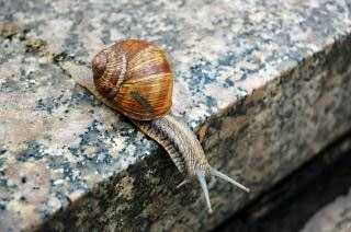 Caracol, icky
