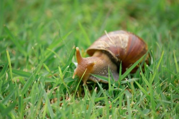 Caracol no gramado