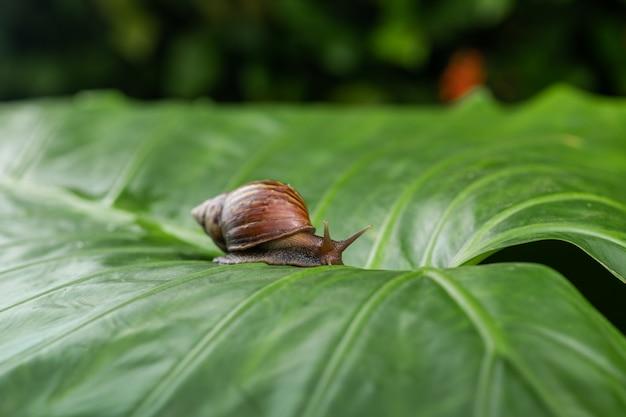 Caracol pequeno de achatina que rasteja em uma folha verde. cosmetologia