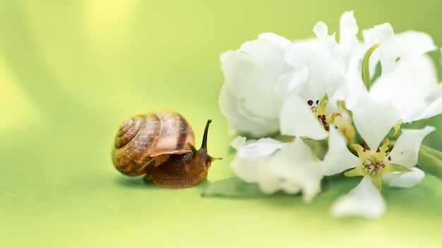 Caracol pequeno e flores de maçã branca. tempo de primavera e conceito de período de floração
