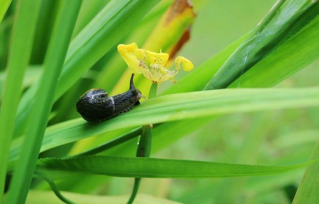 Caracol preto pequeno que rasteja na folha verde com a flor amarela na manhã do verão.