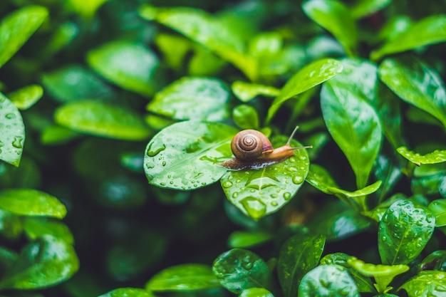 Caracol rastejando em uma folha com gotas de água após a chuva