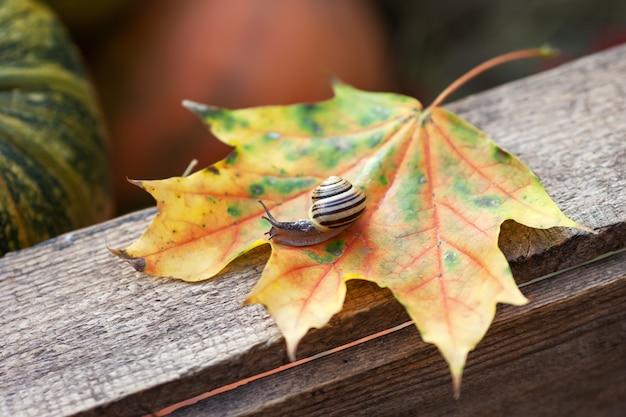 Caracol rastejando em uma folha de um bordo na natureza