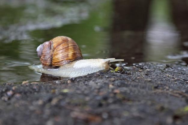 Caracol rastejando na estrada molhada