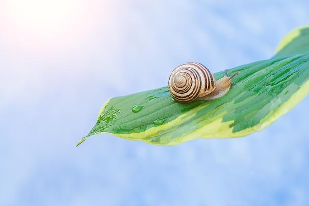 Caracol sentado na folha verde após a chuva em gotas de água em um fundo azul