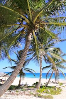 Caraíbas coqueiros mar tuquoise