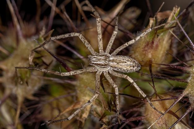 Caranguejo aranha corredor da família philodromidae