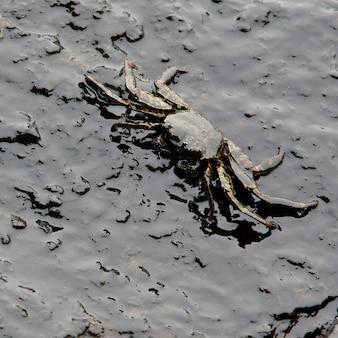 Caranguejo e óleo derramado na pedra na praia