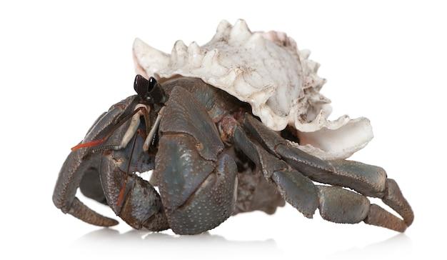 Caranguejo eremita, isolado no branco