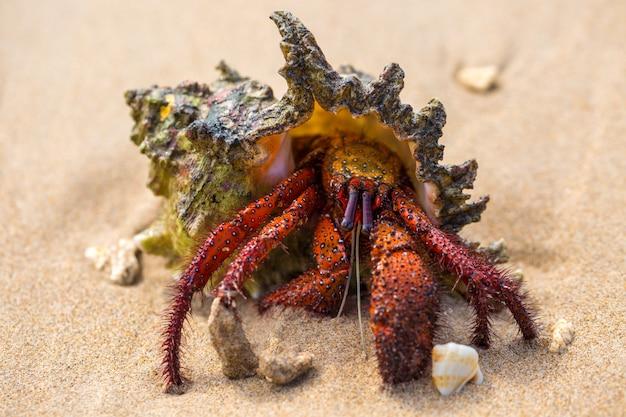 Caranguejo eremita na praia