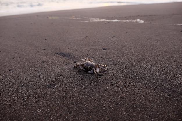 Caranguejo na praia de areia durante o verão
