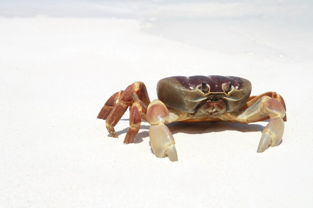 Caranguejo na praia, tailândia