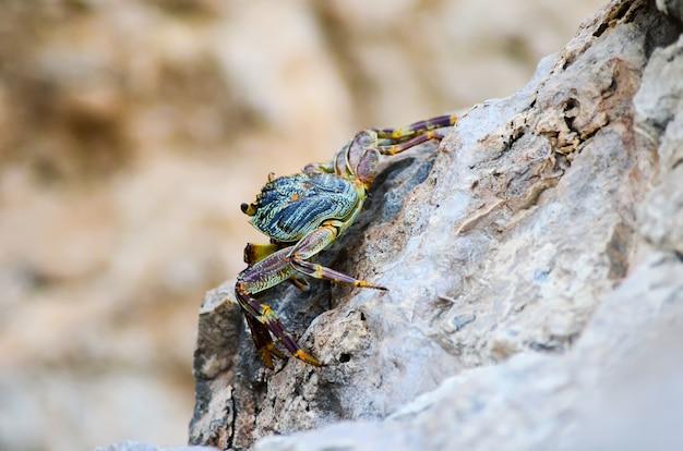 Caranguejo sentado na costa rochosa do mar vermelho. egito, sharm el sheikh.
