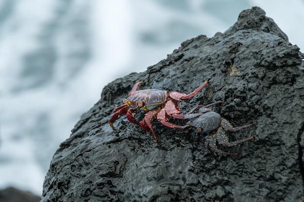 Caranguejos na pedra negra molhada à beira-mar