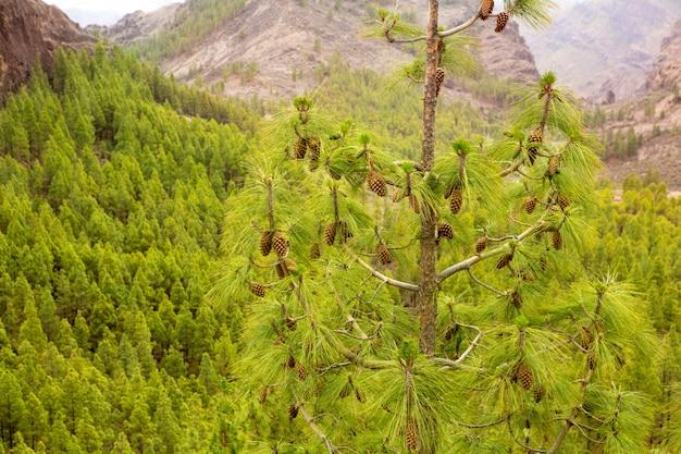 Carary folhas de pinheiro agulhas em gran canaria