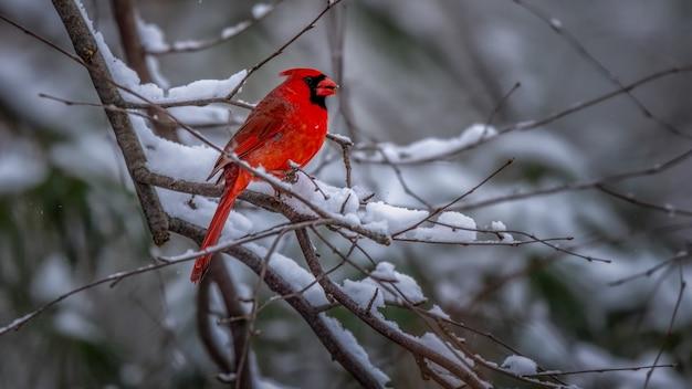 Cardeal do norte pássaro em uma árvore de neve