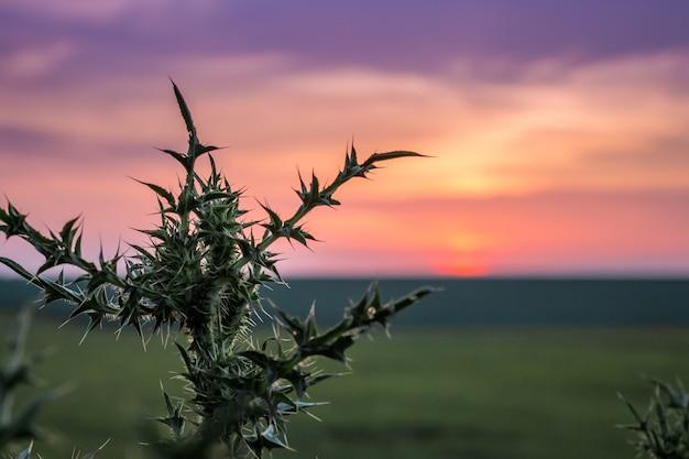 Cardo no campo no fundo do céu durante o pôr do sol