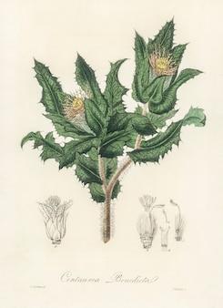 Cardo sagrado (centaurea benedicta) ilustração de botânica médica (1836)