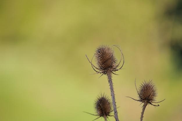 Cardo seco isolado em uma natureza de fundo